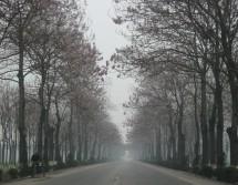 Allee aus Blauglockenbäumen bei Luoyang 洛阳, Provinz Henan (2008)
