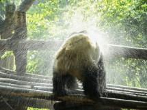 In der Pandazuchtstation in Chengdu, Provinz Sichuan (2008)