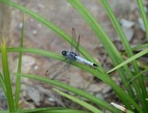 Libelle in Hangzhou (2008)
