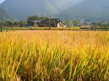 Reisfeld bei Yutou Cun 淤头村, Suichang, Provinz Zhejiang (2012)