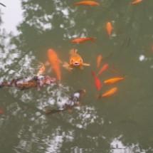 Goldfischteich im Park Hupaoquan, Hangzhou (2013)